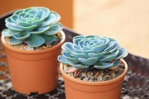 Crasulaceae plante de joubarbe photo