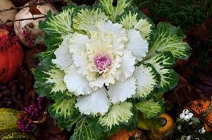 plante ornementale, Victoria kale