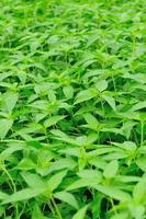 plantes d'orties piquantes en croissance