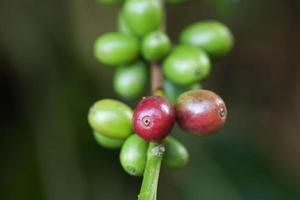 Grains de café mûrissant sur plante photo