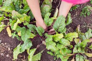 agriculteur éclaircissant et paillant les jeunes plants de betteraves
