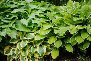 hôte divers dans le jardin d'été, excellente plante pour les endroits ombragés photo