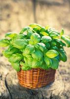 Plante de basilic biologique dans le panier sur la table en bois photo