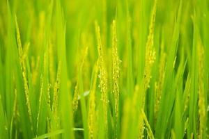 la maturation du grain dans le champ
