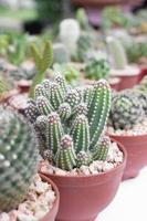 pot de cactus. photo