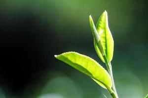 bouchent les feuilles de thé vert