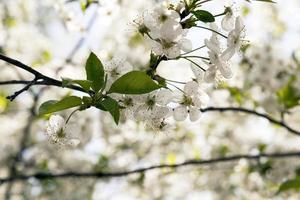 les arbres fruitiers en fleurs