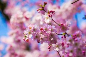 fleurs de sakura rose photo