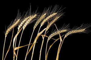 blé - épis sur fond noir