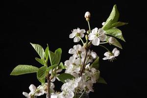 fleurs de cerisier sur fond noir
