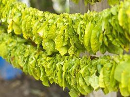 feuilles de tabac en cours de séchage,