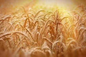 champ de blé éclairé par les rayons du soleil photo