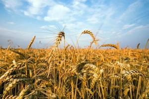 Champ d'or de blé contre le ciel bleu photo