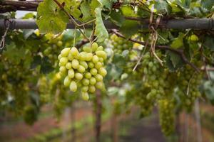 Photo de la branche de raisin blanc mûr avec fond de feuilles de vigne