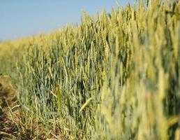 mur de blé photo