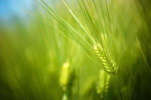 Champ de jeunes cultures de blé vert poussant dans des plantations cultivées photo
