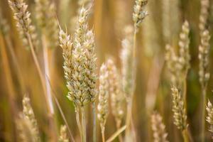 épis de blé d'or sur le terrain