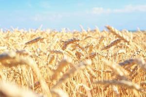 champ de blé. photo