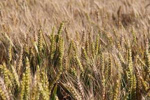 épis de blé photo