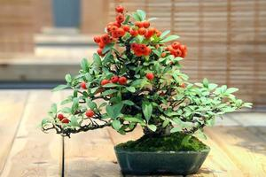 bonsai pyracantha augustifolia. photo