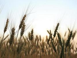 champ d'orge de l'agriculture scène rurale photo