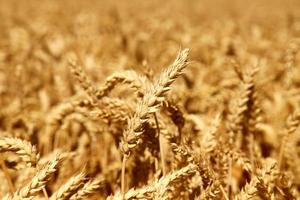 blé sur le terrain
