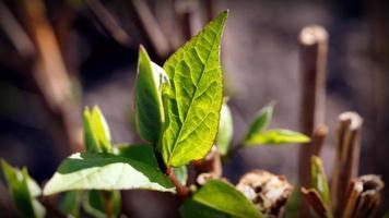 feuilles en croissance