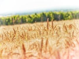 champ de blé et vignoble photo