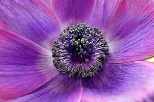 fleur d'anémone pourpre