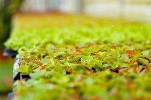 plateaux de plantes fibreuses de bégonia photo