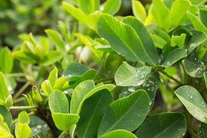 plants d'arachide après la pluie
