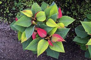 Poinsettia nochebuena pascua - plante précoce