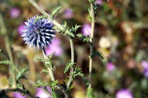 la plante - boules moelleuses violettes.