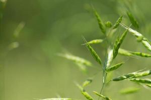 fond de nature abstraite avec des plantes céréalières photo