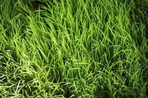 belle plantation de riz abstrait pour le fond photo