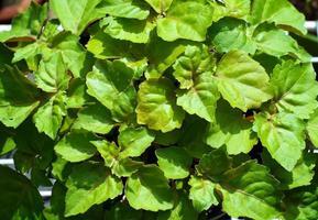 Regardant vers le bas sur les feuilles des plantes de patchouli