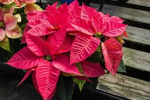 plantes poinsettia en fleurs comme décorations de Noël