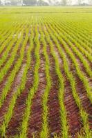 ligne de riz dans la ferme photo