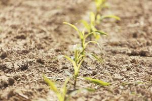 une ligne de champ de culture de maïs brun plantée en vert photo