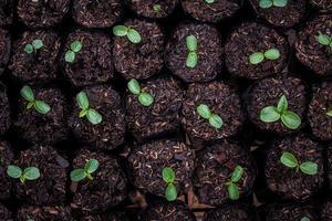 les semis sont prêts à être plantés pour que les espèces