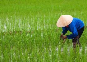 Vietnam, plantation de riz dans des parcelles vides de paddy.