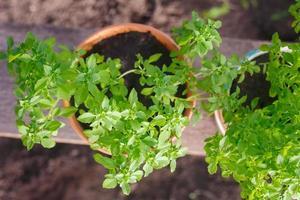 herbes de jardin en pot de basilic grec photo