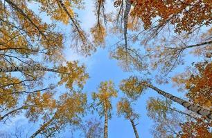 crones d'arbres