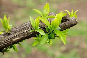 Les premières feuilles vertes du printemps sur la vieille branche photo