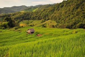 plants de rizières