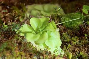 plante carnivore Butterworts pinguicula