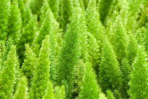 petit fond de plante verte de pin choix populaire pour noël photo