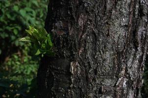 nouvelle branche sur l'ancien tronc. photo