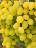 La photo en gros de raisins de table blancs mûrs sur la vigne