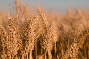 détail de champ de blé doré